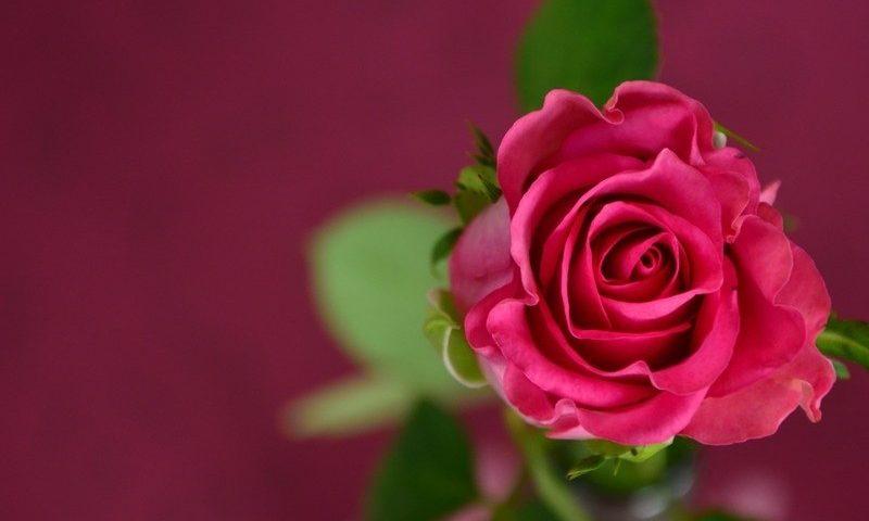 Jenis Tanaman Bunga Mawar Indonesia